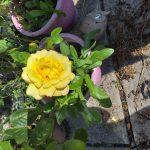 Alltywerin rose